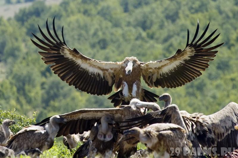 Наверное, нет на Земле другой птицы, о которой бы было сформировано крайне негативное впечатление...