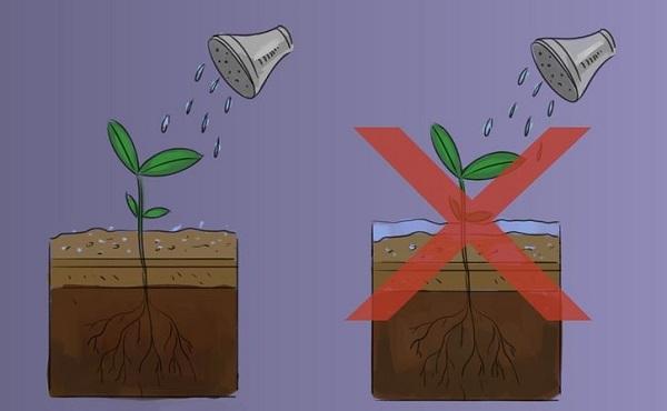 8 правил выращивания базилика в горшках: секреты огородника рекомендации