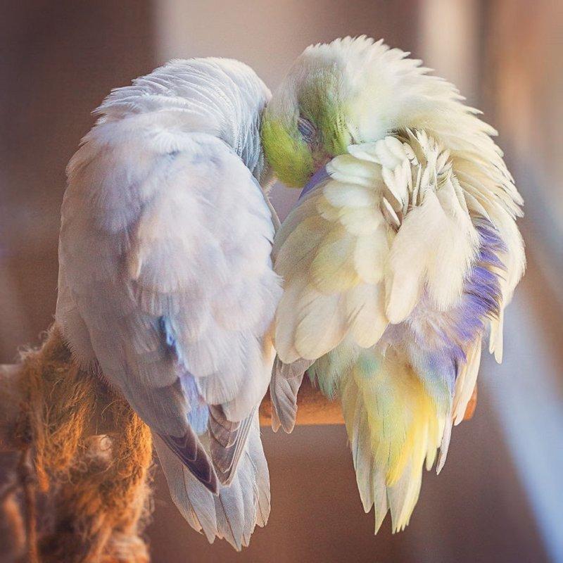 История любви попугаев растопит ваше сердечко!