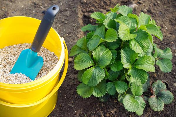 Землянику садовую начинают подкармливать со второго года жизни