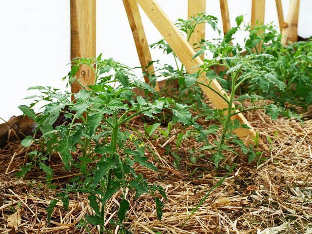 Грамотное мульчирование томатов в теплице: 6 подходящих материалов