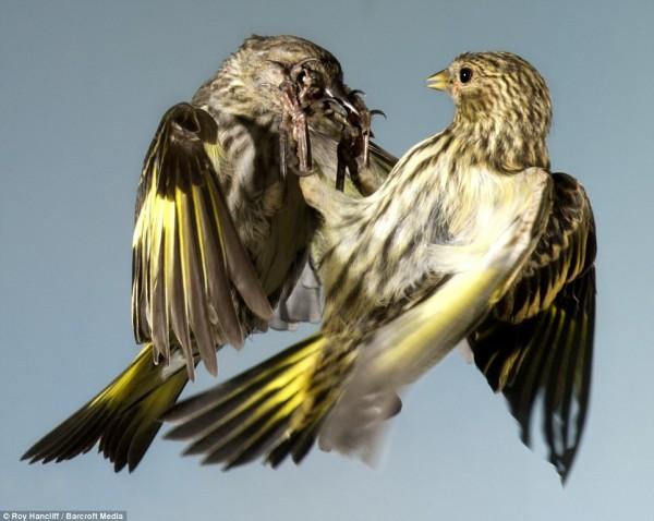 Удивительные фотографии сделанные британским любителем-фотографом дикой природы