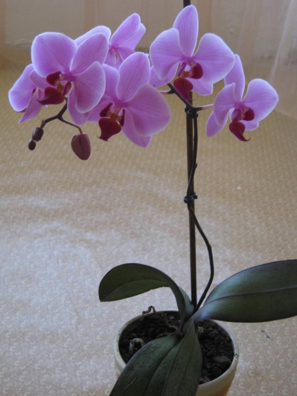 Орхидеи виды уход в домашних условиях фото