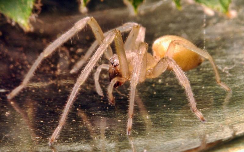 жёлтый паук сак фото