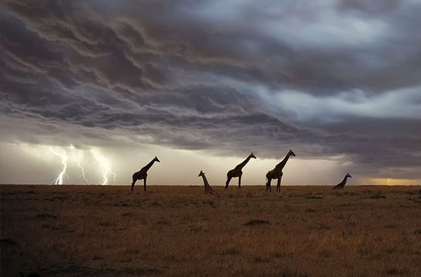 Зоологи рассказали, насколько опасны молнии для жирафов
