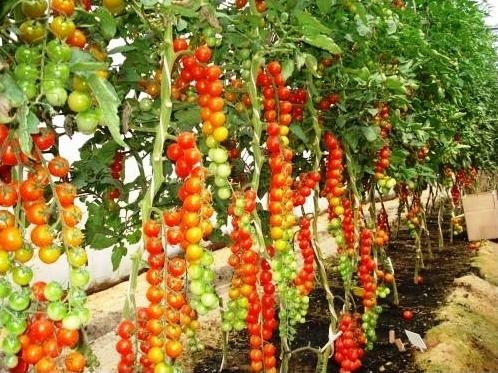 Опыт выращивания томатов одной огородницы