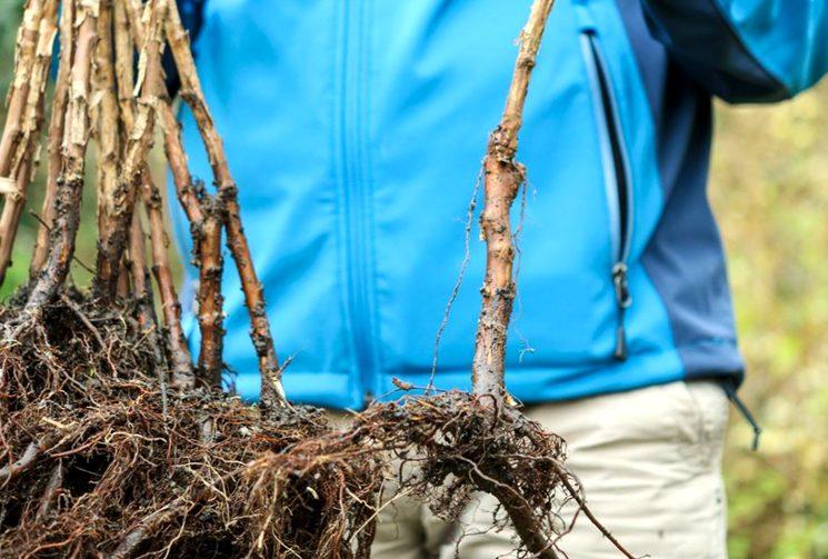 Посадка малины весной — выбираем саженцы, место и способ