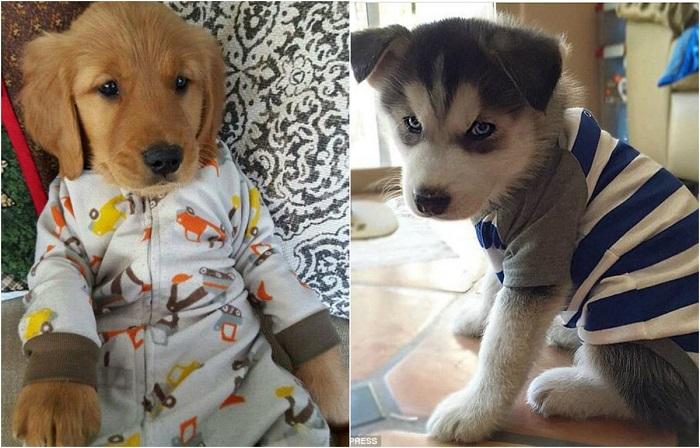 Быть модным даже во сне: 24 щенка, которых хозяева нарядили в забавные пижамы