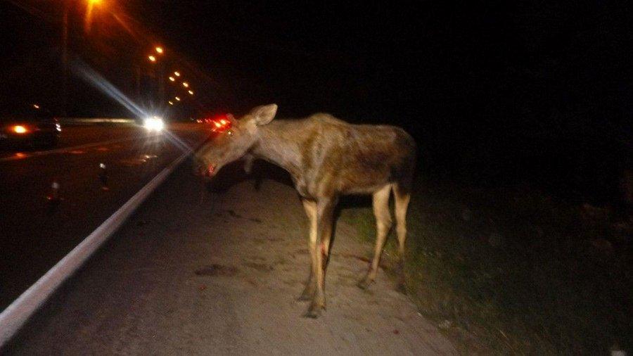 На трассе Гомель-Минск столкнулись лось и авто, победителем вышел…