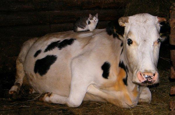 Удивительное рядом! Кот и корова