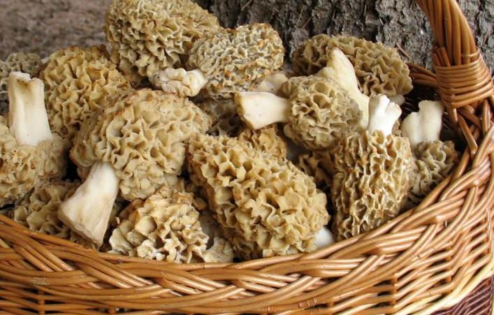 Вкусно и безопасно. Готовим первые весенние грибы