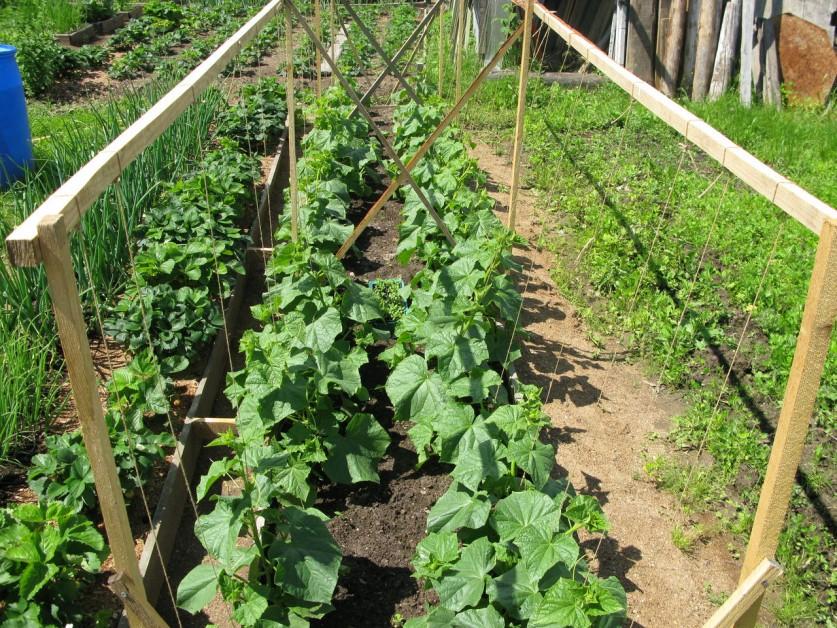 Как выращивать огурцы при летних похолоданиях