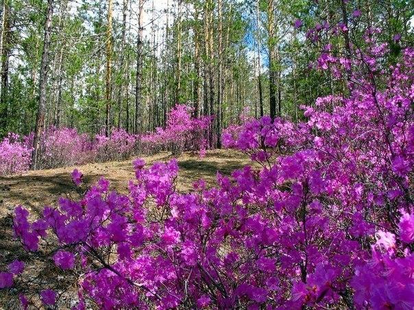 Цветение багульника в Забайкалье