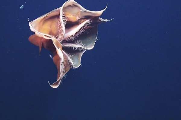 Фиолетовый тремоктопус - осьминог-одеяло