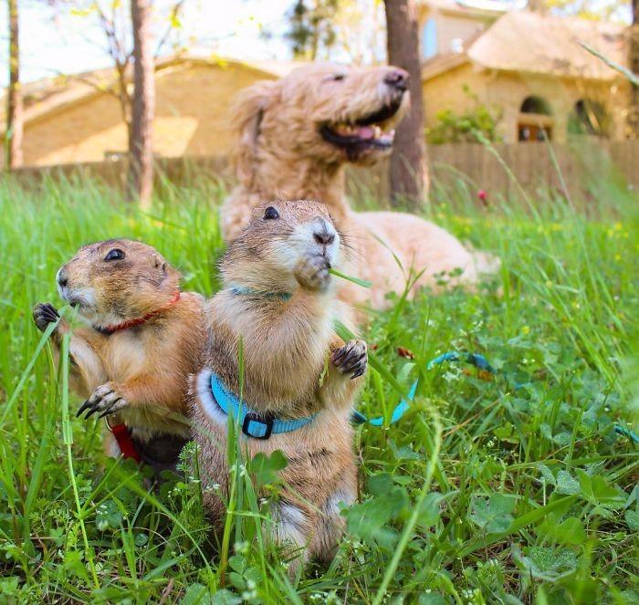 На пикнике с Бисквитом животные, луговые собачки