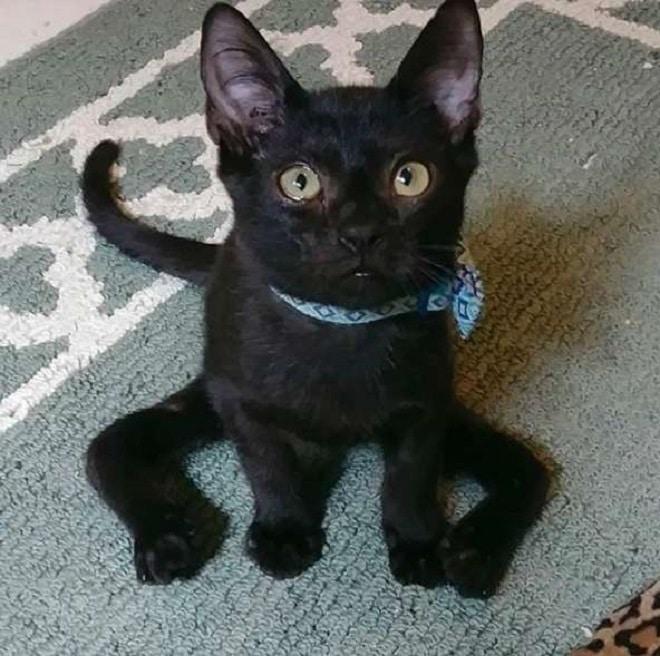 «Спайдеркэт»: необычный котенок, который выглядит, словно паучок