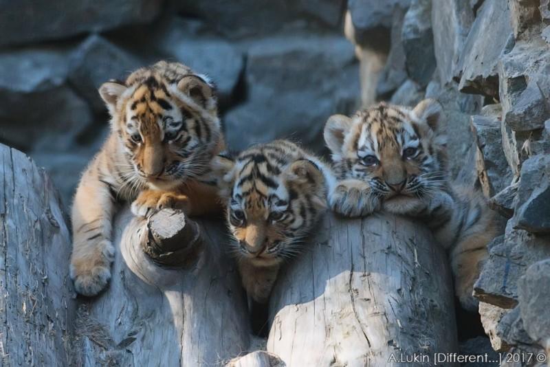 Новосибирский зоопарк объявил о рождении трех тигрят и показал фото малышей