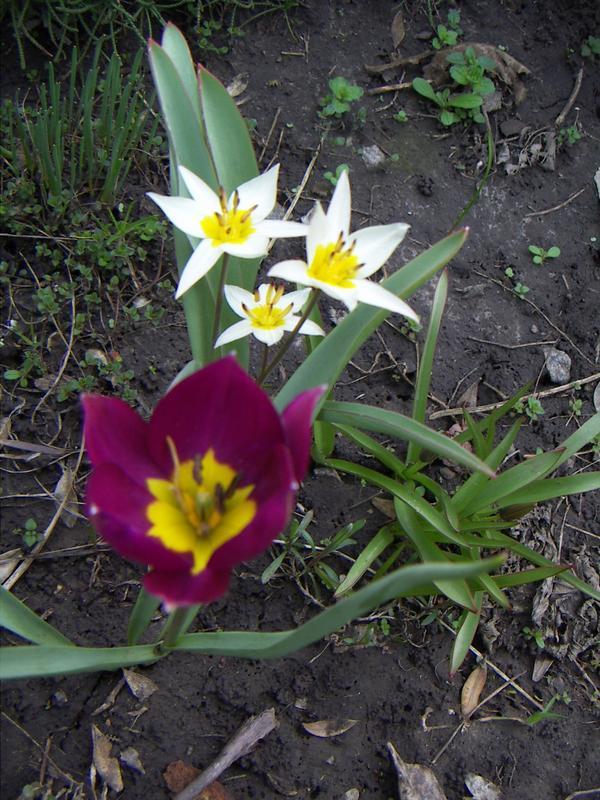 Ботанические тюльпаны — цветы, словно специально созданные для рокариев и альпийских горок