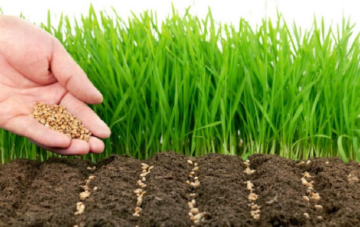 Посев горчицы весной для удобрения почвы