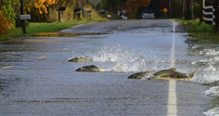 Затопило: по дорогам Вашингтона плавает лосось