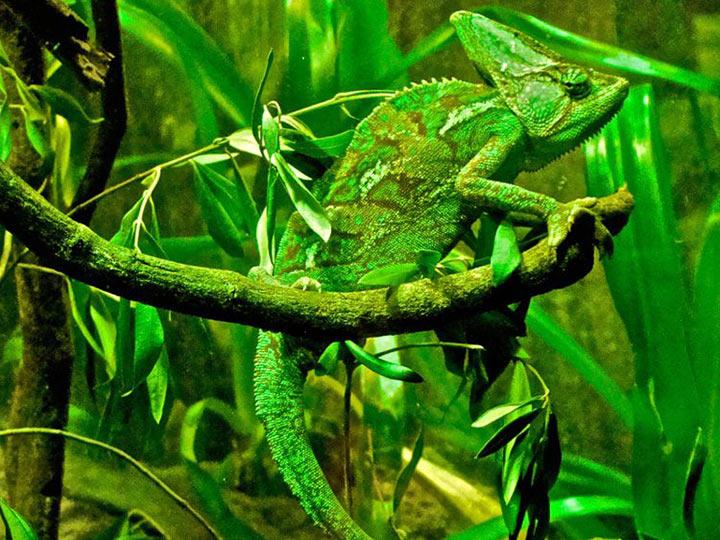 хамелеон животное как он маскируется где обитает является надежным