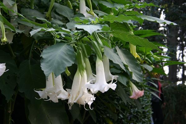 10 ядовитых растений - опасная красота на даче