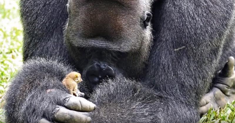 Огромная горилла подружилась…
