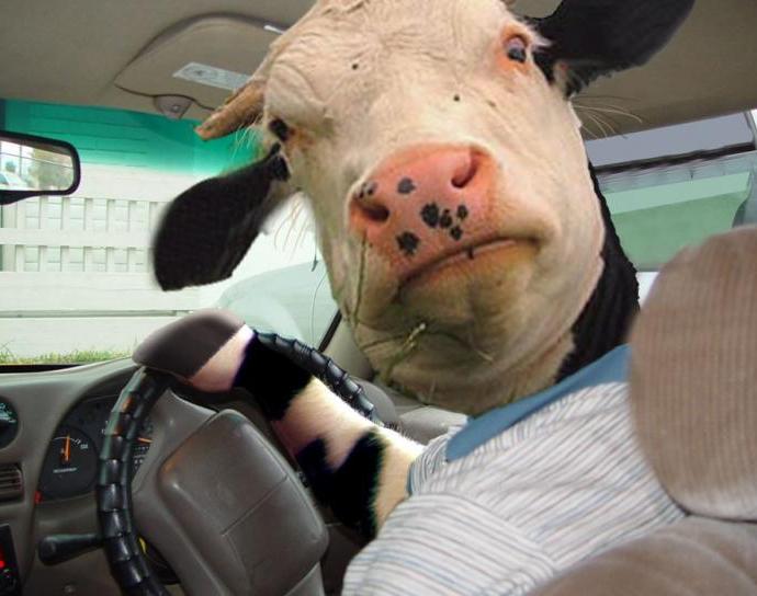 Нарушившие ПДД коровы заплат…
