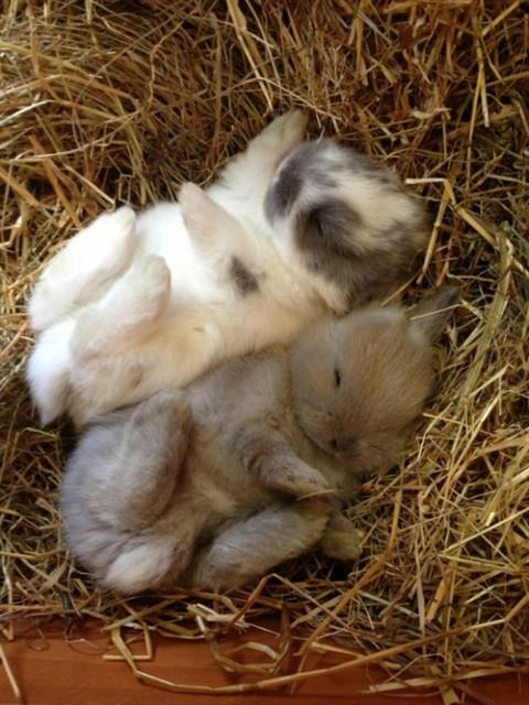 К чему снятся кролики маленькие много женщине