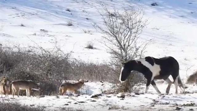 Лошадь и стая волков: неожиданная развязка