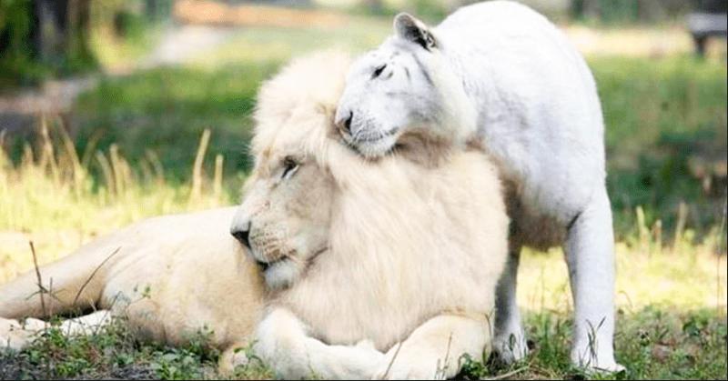 Белые лигрята покорили мир. Белый лев и белая тигрица стали самой уникальной кошачьей семьей