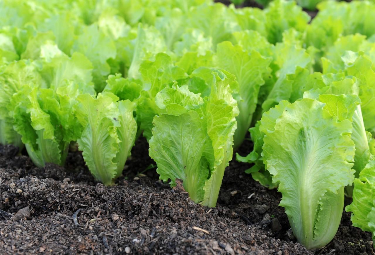 К концу лета вырастим салат