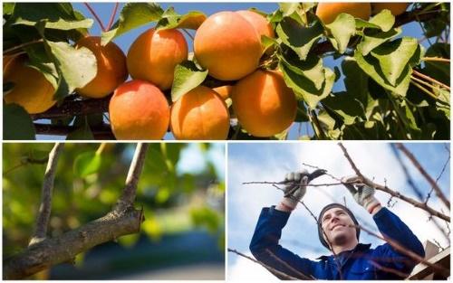 Как обрезать абрикос в завис…