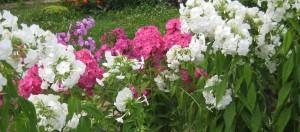 Флоксы в цвету