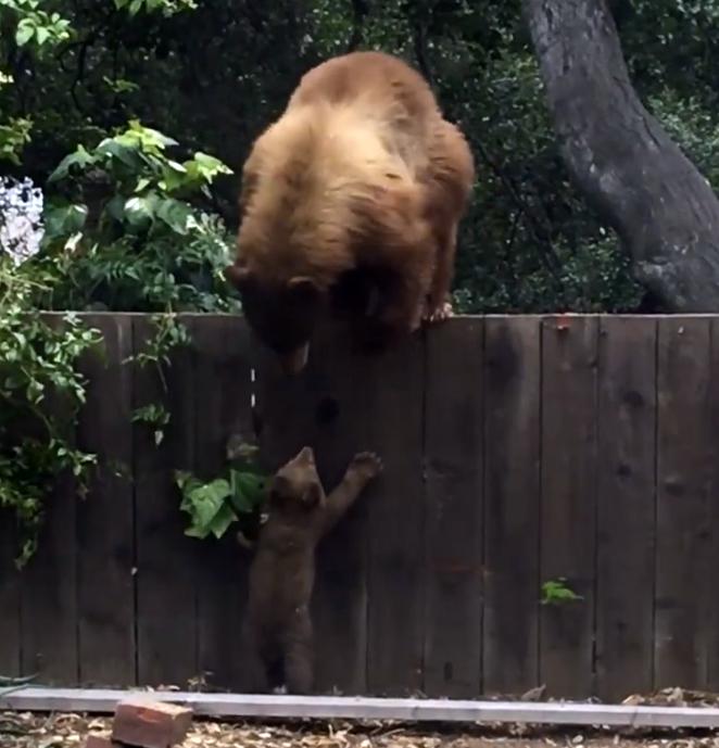 Медвежонок пытается перелезть через забор к маме