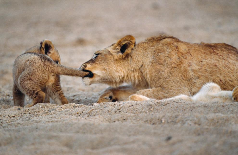 Семья львов в национальном парке Крюгера, Южная Африка
