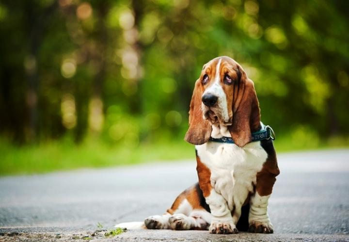 Самые популярные породы собак: бассет