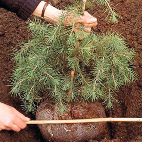 Как правильно сажать сосны из леса 59