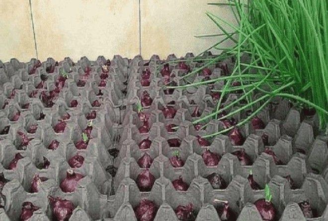 Интересный способ выращивания лука