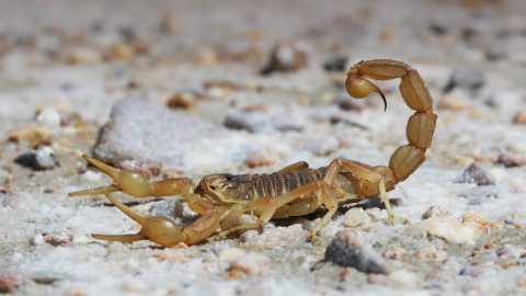 Скорпионы способны «настраивать» яд под будущую задачу