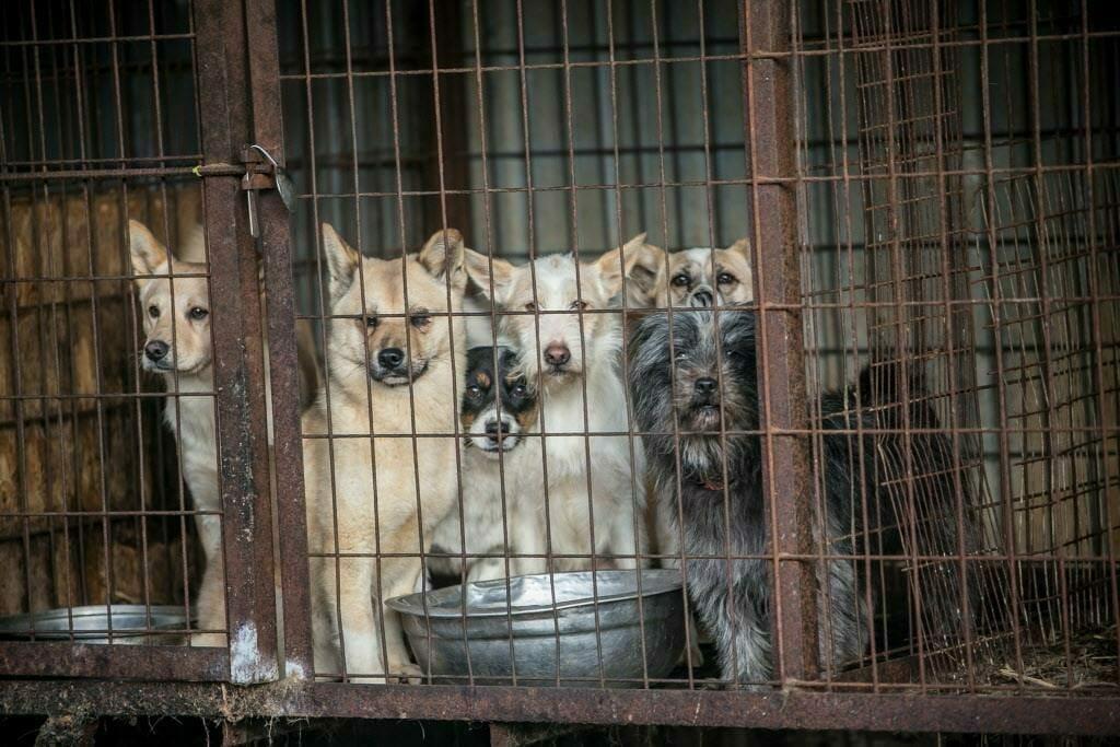Несмотря на просьбы властей, южнокорейские рестораны продолжают предлагать своим посетителям блюда из мяса собак во время Зимних Олимпийских игр