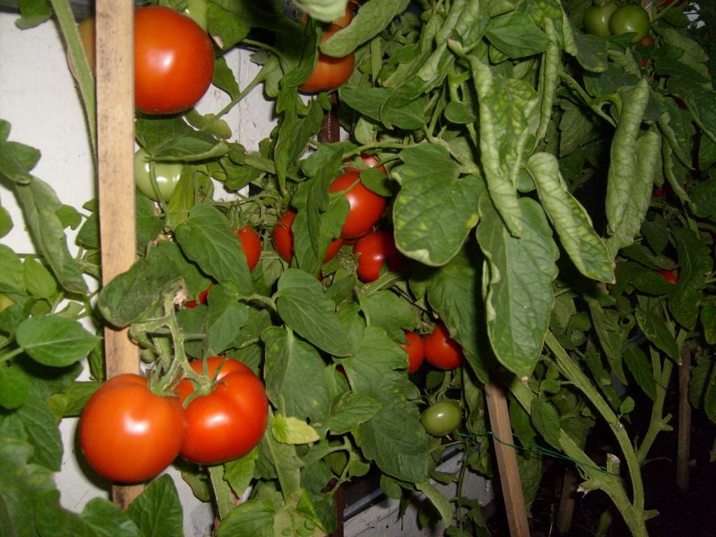 можно садить помидоры по 2штуки в лунку цилиндры, мастер-системы Мультилок