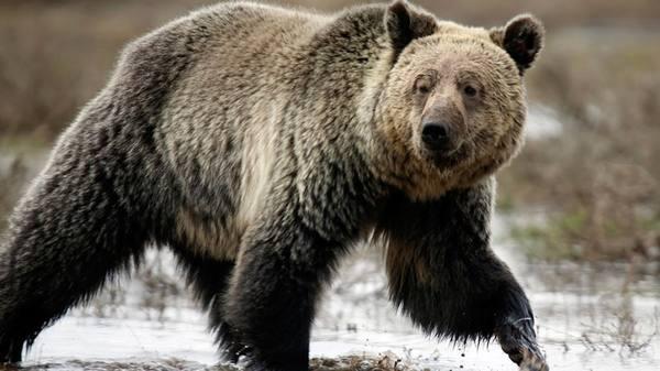 Раненый охотник сбежал от медведя, бросив на съедение товарища