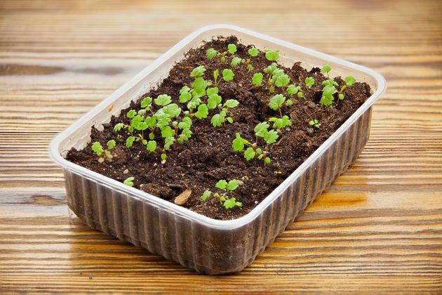 Как вырастить рассаду клубники самому 50