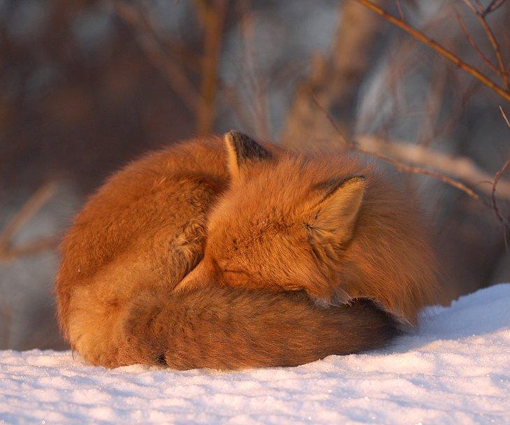 Интересное о лисьих хвостах)
