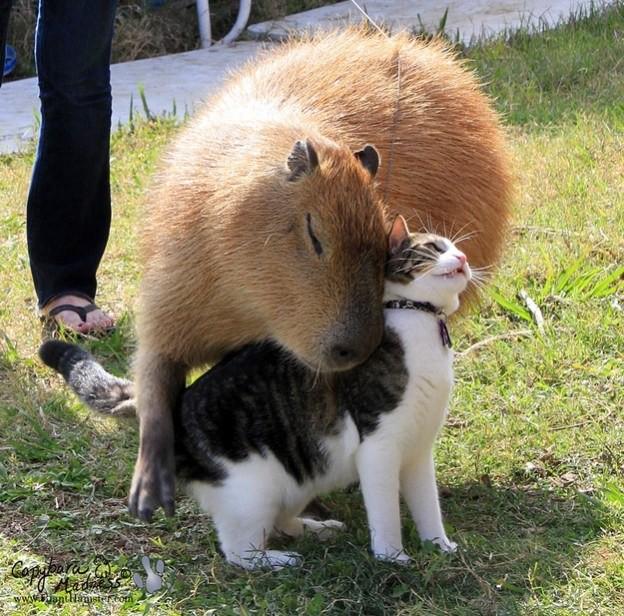 18 фотографий очень дружелюбных капибар