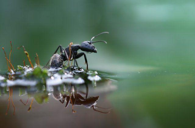 муравьи в воде
