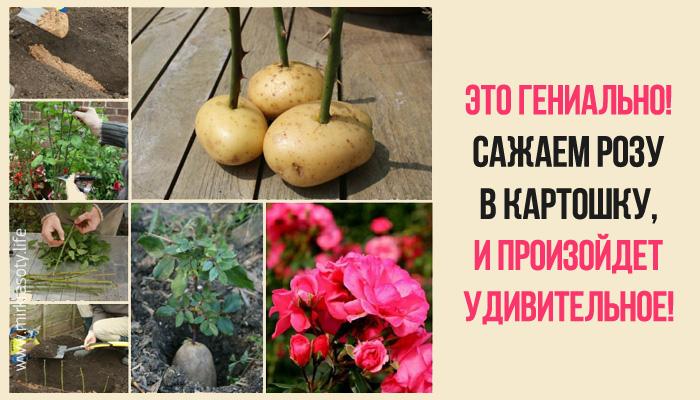 Он втыкает розу в картошку и…