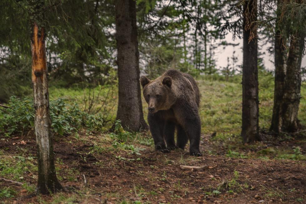 """""""Православный паломник"""". В Карелии медведь приплыл в мужской монастырь ради еды"""