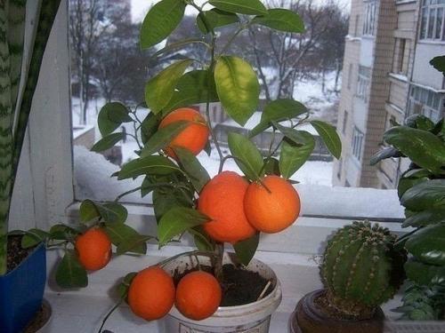 Выращивание мандарин из косточки в домашних условиях